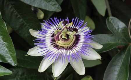 close up of Passiflora caerulea, the blue passionflower, bluecrown passionflower or common passion flower, blooming in garden Banque d'images