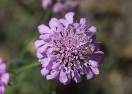 close up of Knautia arvensis flower, commonly known as field scabious blooming during spring Foto de archivo