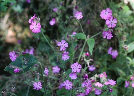 close up of red campion or red catchfly (Silene dioica) flower blooming in spring