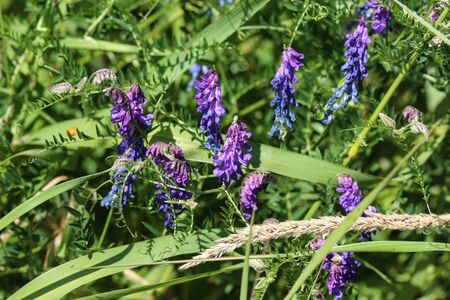close up of Vicia cracca commonly called tufted vetch, bird or blue vetch and boreal vetch, blooming in spring Stock Photo