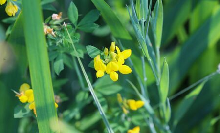 close up of Lotus corniculatus flower, Common names include common bird's foot trefoil, eggs and bacon and just bird's foot trefoil Stock Photo