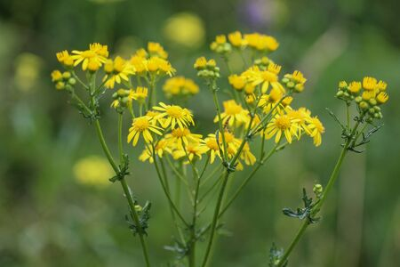 Close up of Jacobaea erucifolia or hoary ragwort flower (Senecio erucifolius) blooming in spring Standard-Bild