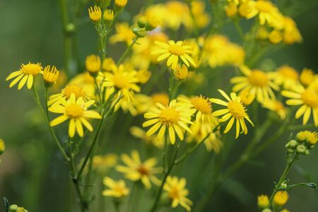 Close up of Jacobaea erucifolia or hoary ragwort flower (Senecio erucifolius) blooming in spring Фото со стока