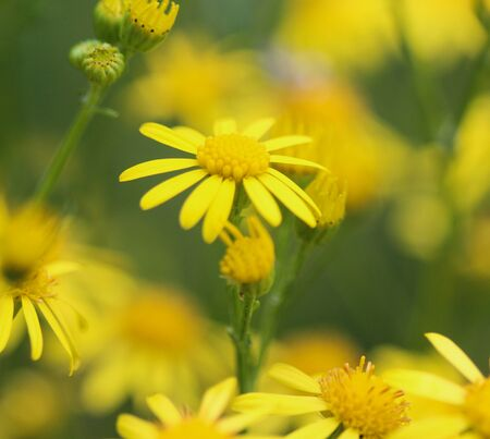 Close up of Jacobaea erucifolia or hoary ragwort flower (Senecio erucifolius) blooming in spring Banco de Imagens