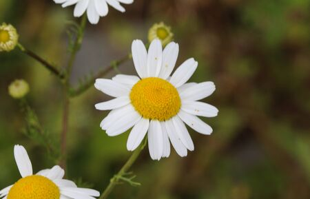 close up of Leucanthemum vulgare, commonly known as the ox-eye daisy, oxeye daisy, dog daisy
