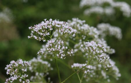 close up of marsh valerian or Valeriana dioica, blooming in spring