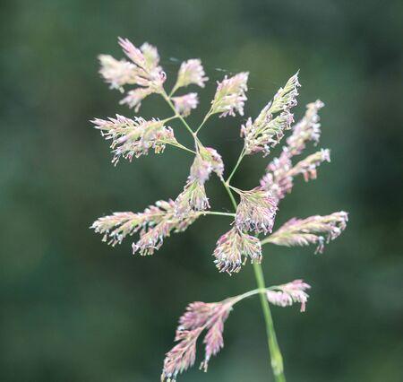 close up of reed canary grass Foto de archivo