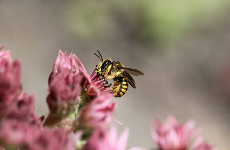 close up of the Anthidium manicatum, commonly called the European wool carder bee Stock Photo