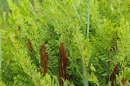 close up of Osmunda regalis, or royal fern, blooming in spring