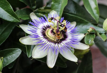 close up of Passiflora caerulea, the blue passionflower, bluecrown passionflower or common passion flower, blooming in garden Stock Photo