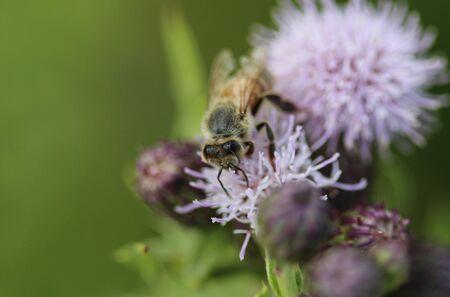 closeup of western honey bee