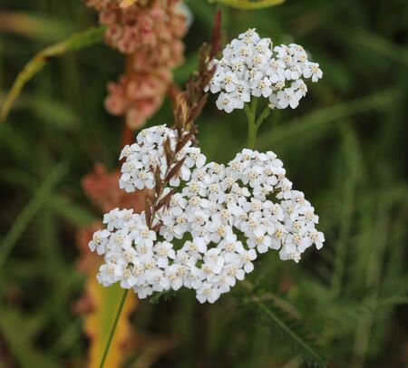 close up of Achillea millefolium, commonly known as common yarrow 版權商用圖片