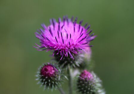 close up of Carduus acanthoides, known as the spiny plumeless thistle, welted thistle, and plumeless thistle