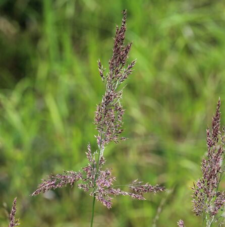 close up of Holcus lanatus, Common names include Yorkshire fog, tufted grass, and meadow soft grass