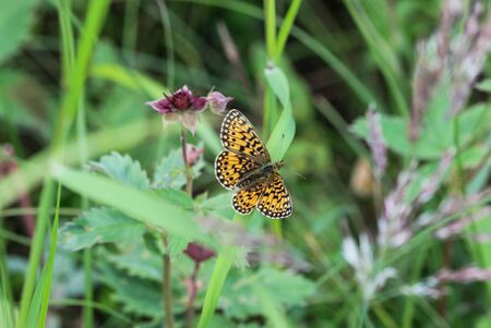 Close up of Boloria eunomia, the bog fritillary or ocellate bog fritillary butterfly of the family Nymphalidae