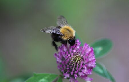 Close up of Bombus pascuorum bumblebee, the common carder bee on flower