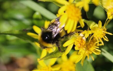 close up of Bombus cryptarum, also know as the cryptic bumblebee