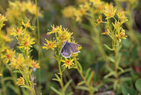 Close up of Plebejus idas, the Idas blue or northern blue butterfly