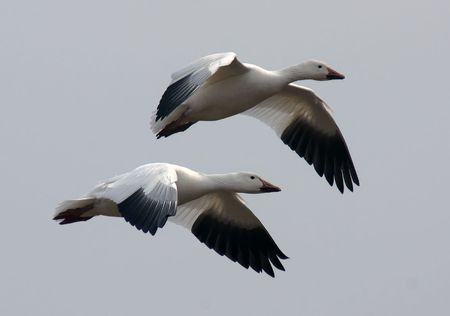 A pair of migrating Snow Geese in flight. Stock Photo