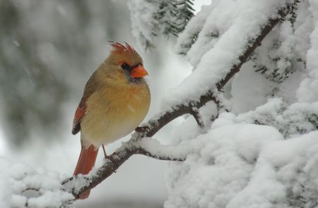 A Female Northern Cardinal (Cardinalis) perched on a snow covered Evergreen during a snow storm in winter.