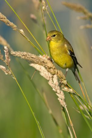 A Female American Goldfinch (Carduelis tristis) in summer plumage feeding in habitat.