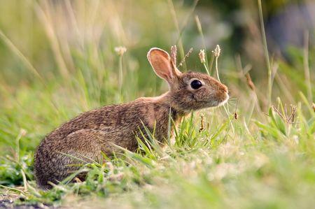An alert bunny rabbit in the grass.