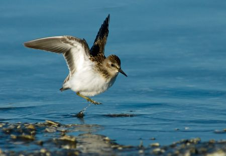 Least Sandpiper in a wings up pose. Stok Fotoğraf