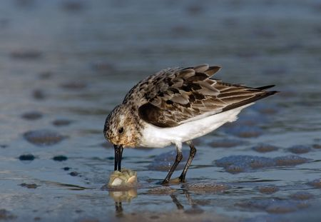 Semipalmated Sandpiper catching a Sand Crab.
