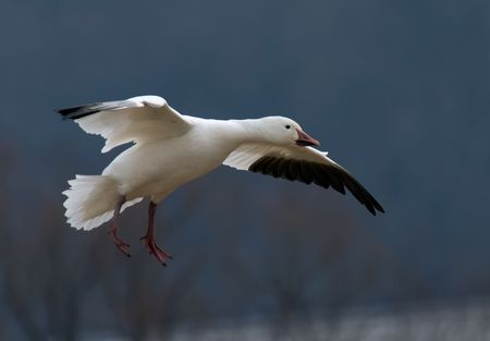 A single migrating Snow Goose in flight. Stock Photo