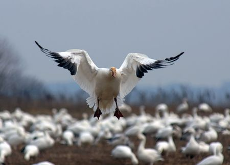 A single Snow Goose landing among a flock of geese. Stock Photo