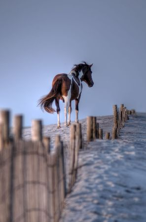Wild pony on the sand dunes of Assateague Island rendered in High Dynamic Range. Stock Photo
