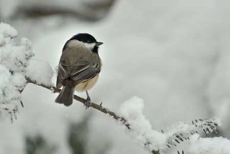 A Black Capped Chickadee (Poecile atricapillus) perched on a snow covered Evergreen during a snow storm in winter. Stock Photo