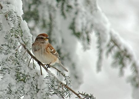 Tree Sparrow (Spizella arborea) perched on a snow covered Evergreen during a snow storm in winter. Stock Photo