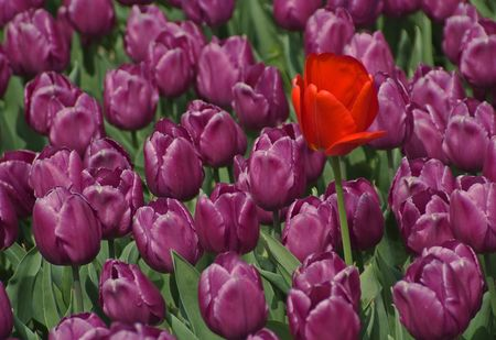 A single red Tulip growing among a group of purple tulips.