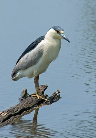 Black Crowned Night Heron (Nycticorax nycticorax) perched on a log over blue water looking for fish.