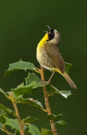 Common Yellowthroat (Geothlypis trichas) in full song.