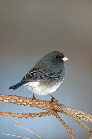 Dark Eyed Junco (Junco hyemalis) perched on a Evergreen branch. photo