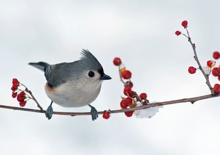 Tufted Titmouse (Baeolophus bicolor) perched on a branch with berries.