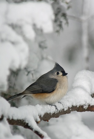 Tufted Titmouse (Baeolophus bicolor) perched on a branch covered with snow.