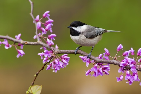 capped: Black-capped Chickadee (Poecile atricapillus) perching on a Redbud Tree
