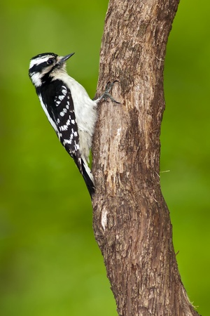 Female Downy Woodpecker (Picoides pubescens) perching on a tree. Stock Photo