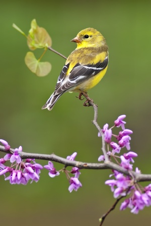 American Goldfinch (Carduelis tristis) perching on Redbud tree. photo