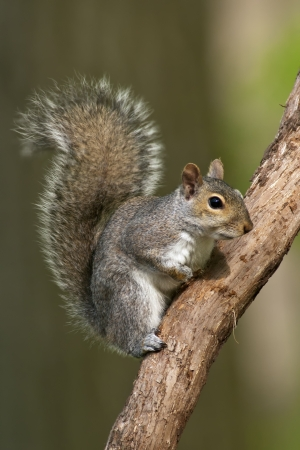 on gray: Eastern Gray Squirrel on a tree branch.