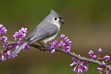 Tufted Titmouse (Baeolophus bicolor) perching on a Redbud tree with a Sunflower seed.