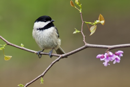Black-capped Chickadee (Poecile atricapillus) perching on a Eastern Redbud Tree. Stock Photo
