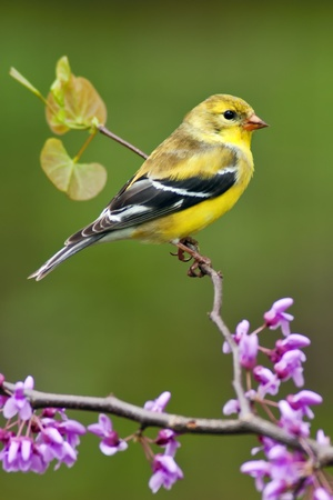 aves: American Goldfinch (Carduelis tristis) perching on Redbud tree.