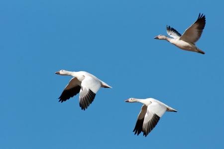 gansos: Tres gansos de nieve en vuelo aislado contra un cielo azul.