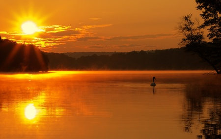 Beautiful sunrise on a lake with Mute Swan in silhouette.