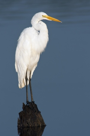 heron: Great Egret (Ardea alba) perching on a stump with background of blue water.