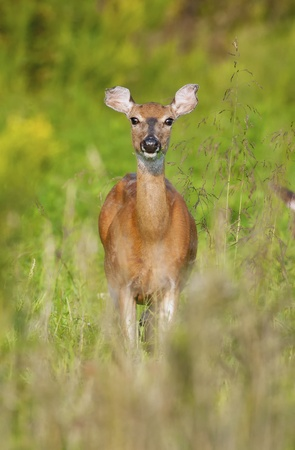 white tail deer: White-tailed deer grazing in a meadow.